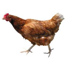Pollo e Coniglio