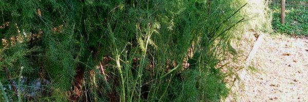 Orto-asparagi-Ottobre-2020-det